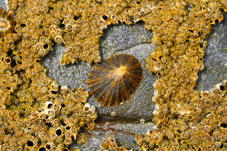 Lapas limpet barnacles in Ribadeo Galicia of Lugo Spain