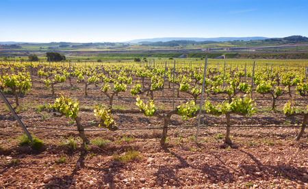 vineyard at Camino de Santiago Levante Saint James Way at Font de la Figuera
