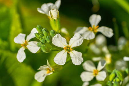 Arugula rucula white flowers detail in an orchard graden