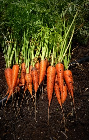 Fresh carrots just harvested in homestead farmland soil Reklamní fotografie