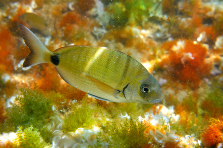 Diplodus Sargus fish underwater Mediterranean in Spain white seabream alive