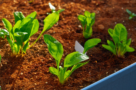 Spinach and chard seedlings in an orchard urban garden