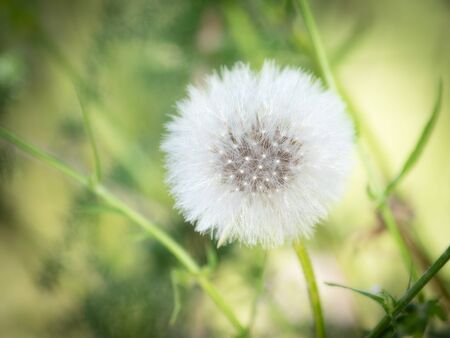 A dandelion in a beautiful morning 版權商用圖片
