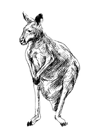 Drawing of a kangaroo  Vector illustration