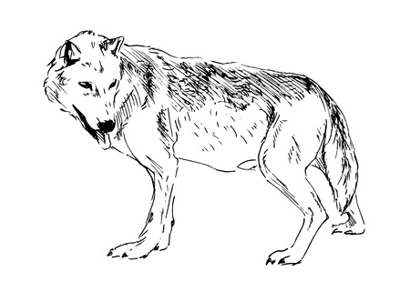 lupus: Hand drawing a wolf  Illustration