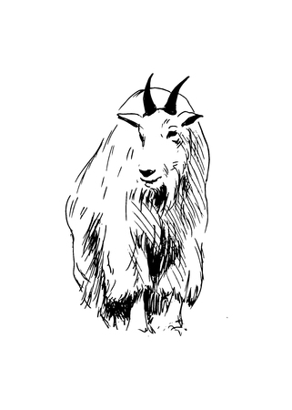 Hand drawing of a mountain goat.  Illustration