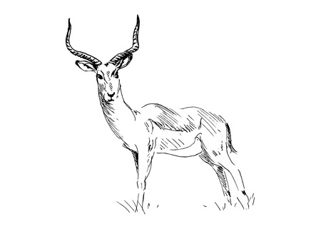 wildlife reserve: Hand drawing antelope. Illustration
