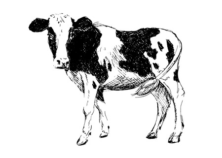 cow head: Hand drawing cow.