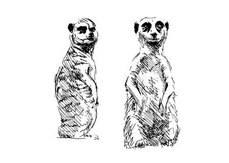 kalahari desert: Hand drawing meerkats.