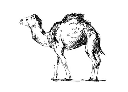 Hand drawing a camel. Vector