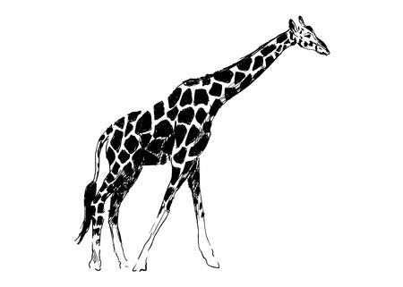 jirafa fondo blanco: Mano de dibujo jirafa Vectores