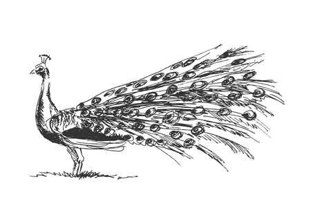 peacock feather: hand sketch peacock