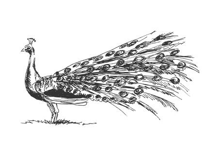 feather vector: hand sketch peacock