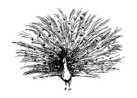 outstretched hand: hand sketch peacock with outstretched tail