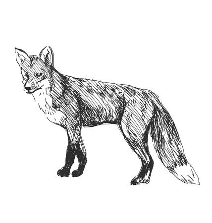 fox fur: hand sketch fox Illustration