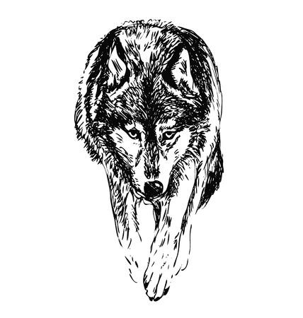 hand sketch walking wolf