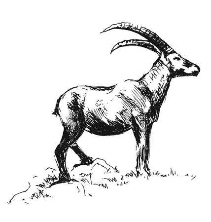 mouflon: hand sketch Capricorn