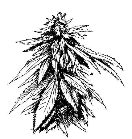 croquis à la main de la marijuana Vecteurs