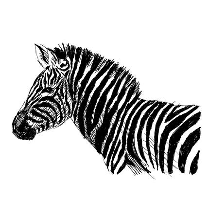 Hand sketch zebra side. Vector illustration