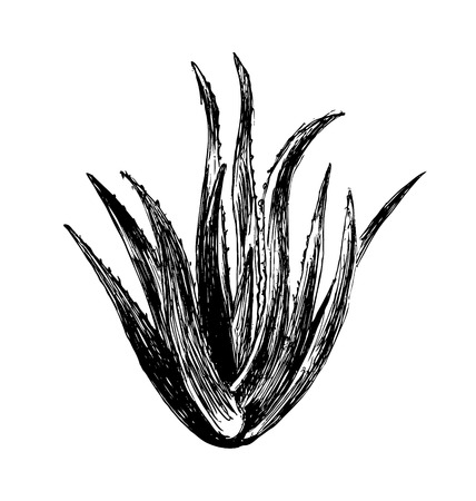 aloe vera plant: Hand sketch aloe vera plant. Vector illustration Illustration