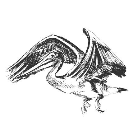 pelican: Hand sketch of a flying pelican. Vector illustration