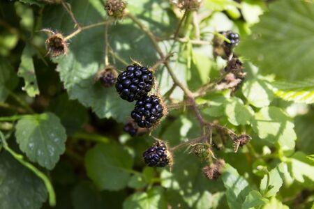 black raspberries: Black raspberries