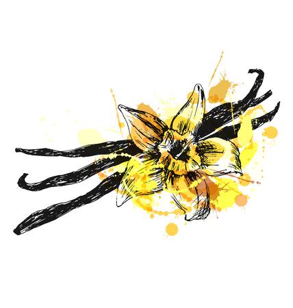 Colored hand sketch vanilla. Vector illustration