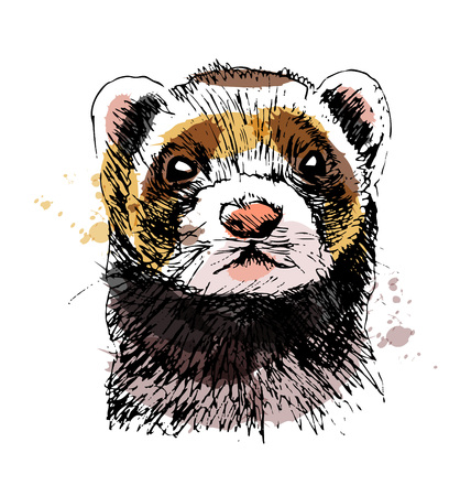 Colored hand sketch head ferret. Vector illustration Illustration