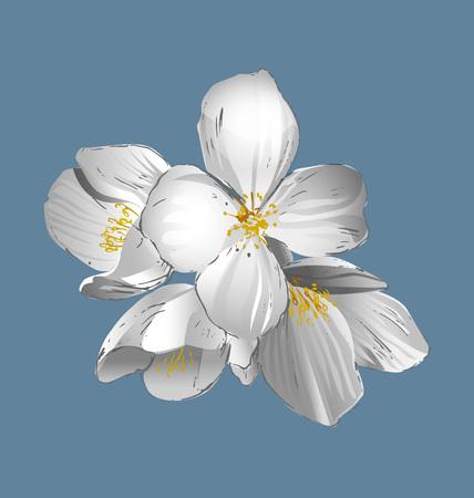 Vector vintage illustration of Jasmine Flowers