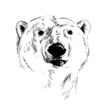 Hand Sketch Head of Polar Bear.