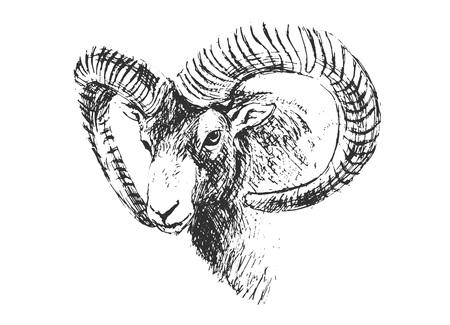 Hand Sketch Head Mouflon.