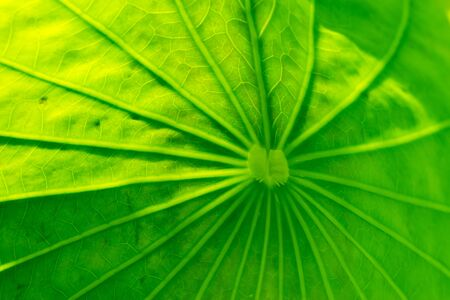 The background of the lotus leaf