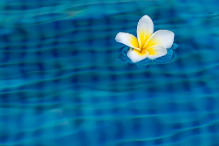 Plumeria floating in the swimming pool photo