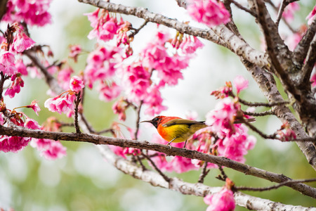 green trail sunbrid on Cherry Blossom and sakura photo