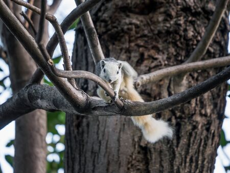 White squirrel scratching on a tree branch