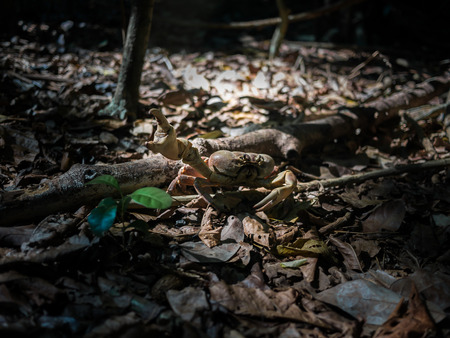 A Hairy Leg Mountain Crab walking in the woods Фото со стока
