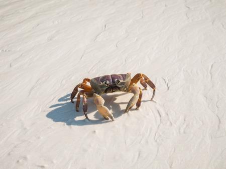 A Hairy Leg Mountain Crab walking on a beach