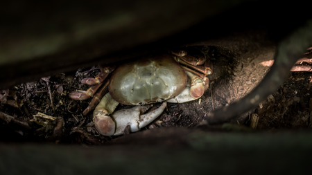 A Hairy Leg Mountain Crab sleeping in a tree