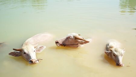 Closeup with which three of them are albino.Albino buffalo is rarely can be seen in world. Albino water buffalo soak in a swamp.