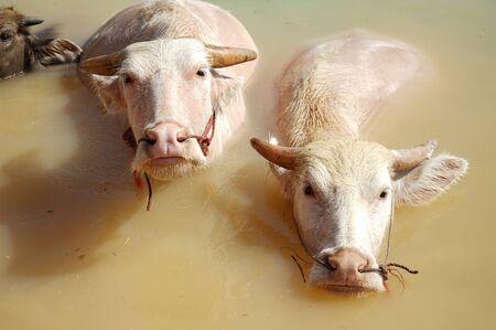 Close up Albino water buffalo soak in a swamp.Albino buffalo (Pink buffalo) hides in water from a heat Zdjęcie Seryjne