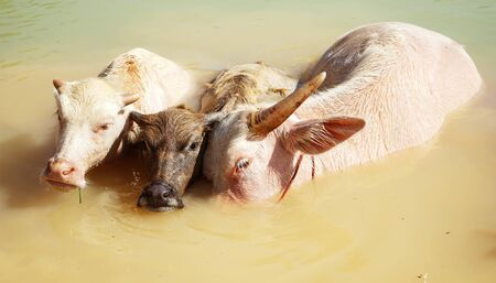 Closeup with three water buffalo which two of them are albino.Albino buffalo is rarely can be seen in world.Albino buffalo (Pink buffalo) hides in water from a heat