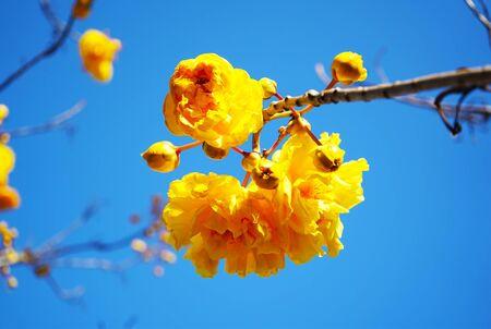 Close up oft blurred and soft focus of Cochlospermum regium flower,Supanniga flowersr ( Thais thai name ) with blue sky background.