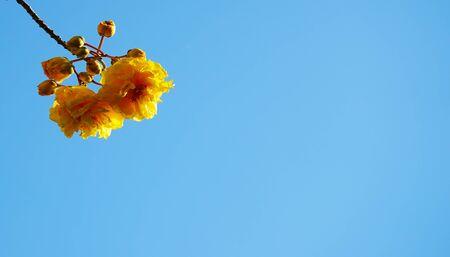 Yellow silk cotton with blue sky ,Cochlospermum regium.(Thiss Thai name Supanniga flowers)