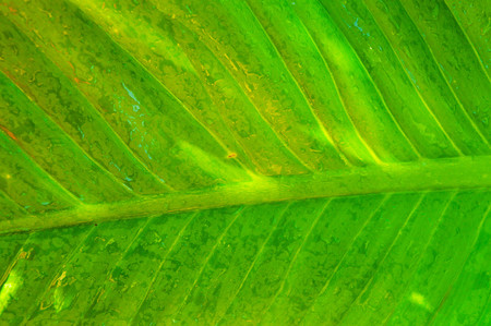 venation: Abstract green leaf texture for background