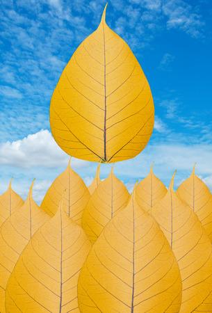 peepal tree: Gold bodhi leaf bodhi leaf texture background