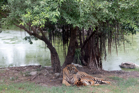 swain: Tigers resting under trees