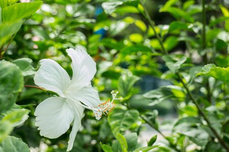 folwer: Hibiscus White