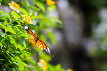 chrysope: Leopard Lacewing papillon