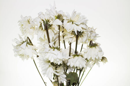 Bouquet of withered Chrysanthemum.on white background photo