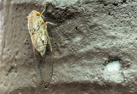 se cramponner: cicada cling on a surface, photographed close-up